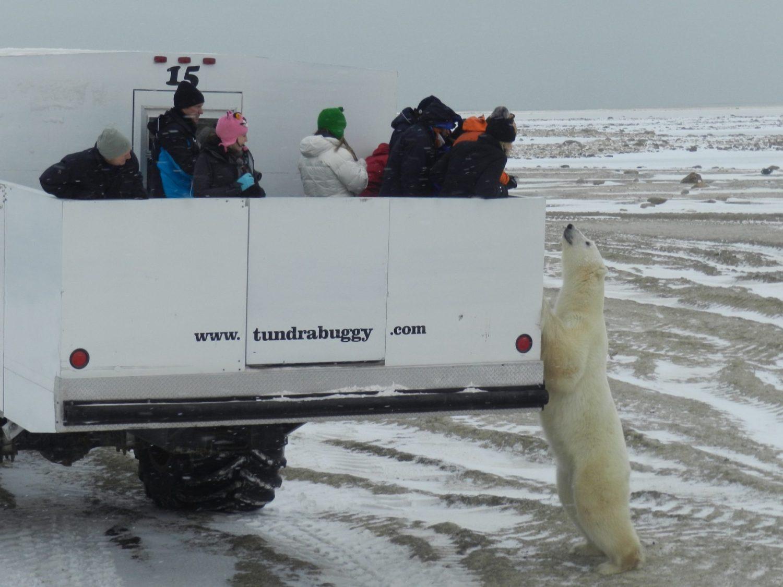 polar bears, tundry buggy, Canada