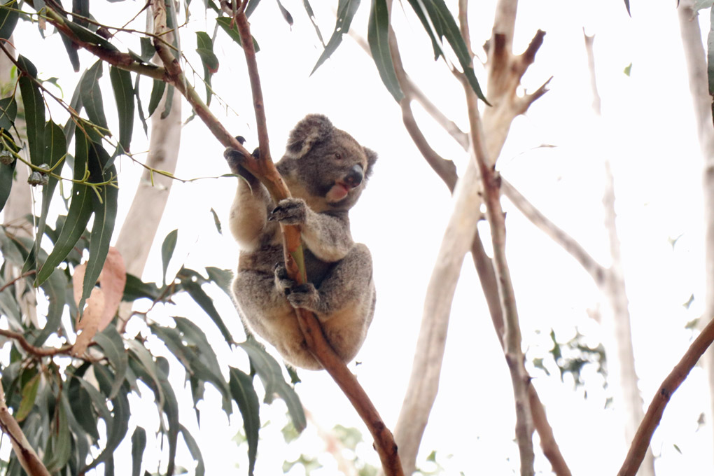 Koala at Hanson Bay Sanctuary