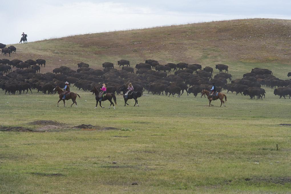 The South Dakota Buffalo Roundup