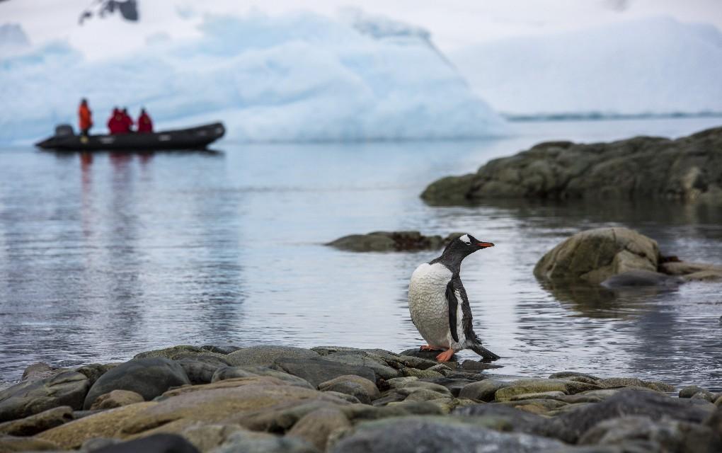 penguin, Antarctica, expedition cruising, Wildfoot Travel, white wedding in Antarctica