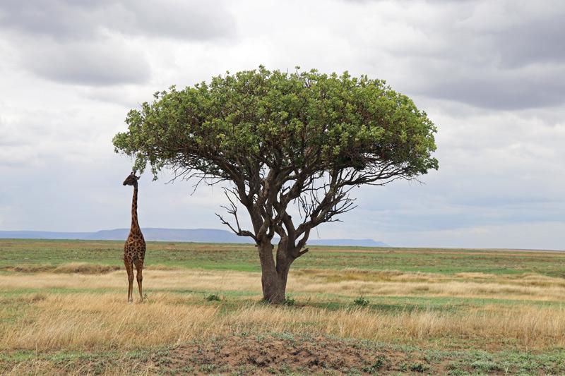 Giraffe, Serengeti, Tanzania, Ehlane Plains, Nasikia camps, Tanzania