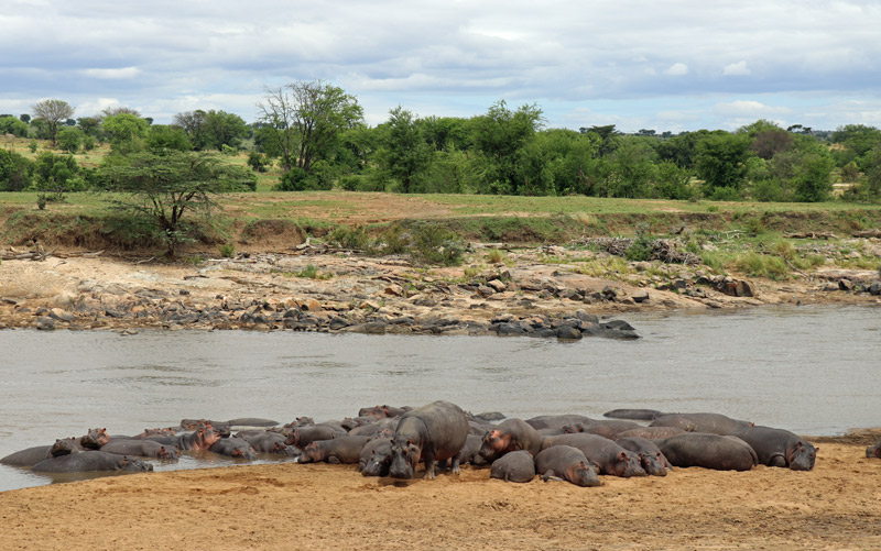 hippos, Serengeti, Africa, wildlife, on safari, Nasikia Camps, Maasai Wanderings, Helen Hayes