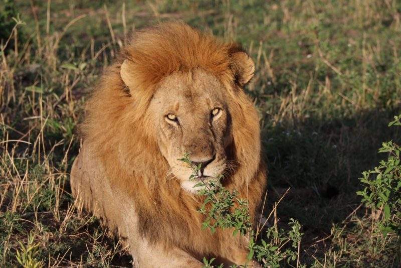 Lion, safari, Serengeti, Tanzania, Classic Safari Company, Nasikia camps, Kaskaz Mara Camp, Great migration