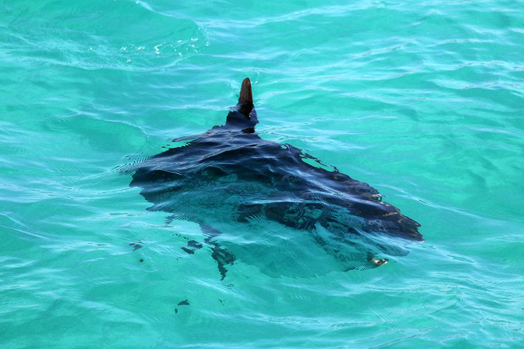 Sunfish, Fowlers Bay, Eyre Peninsula, South Austalia