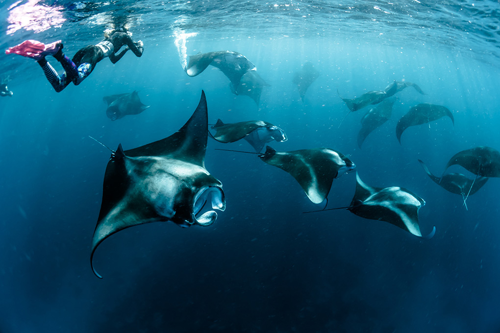 Snorkelling diving, The Maldives, manta rays
