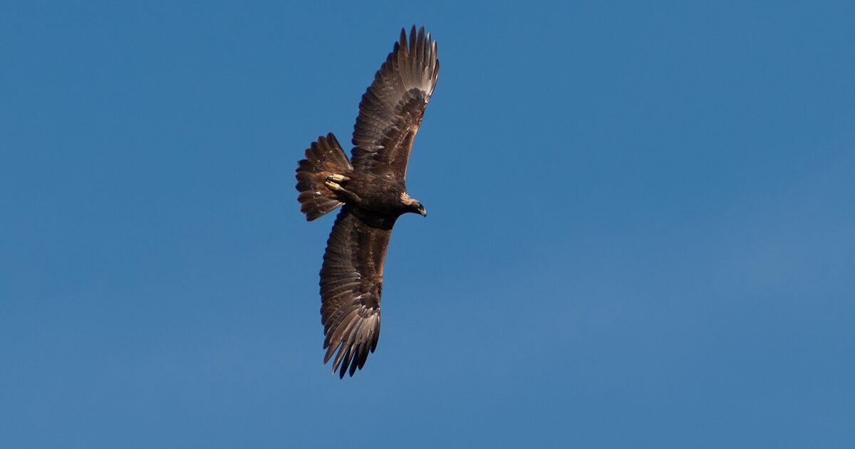 Evocative image: soaring eagle.