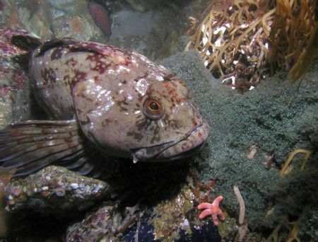 How to Catch Lingcod Picture
