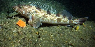 Lingcod_Fishing_Tips