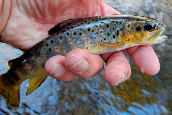 Brown Trout Life Cycle 4 to 6 Weeks