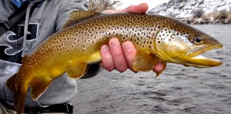 Brown Trout Feeding Habits