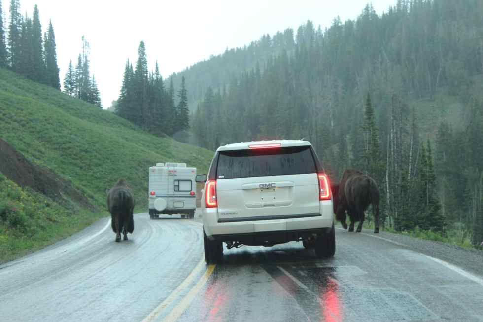 Bison Jam, Yellowstone National Park