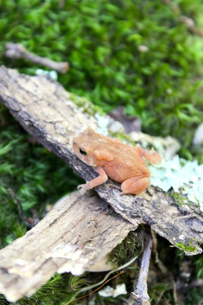 Frog in Brown County, IN