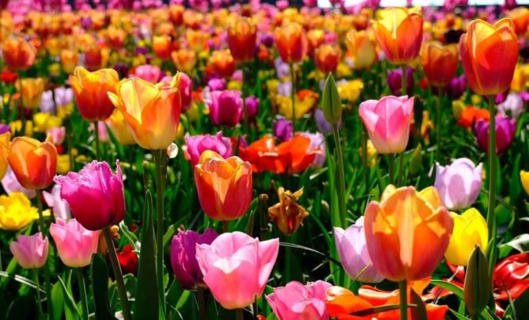 tulips at keukenhof