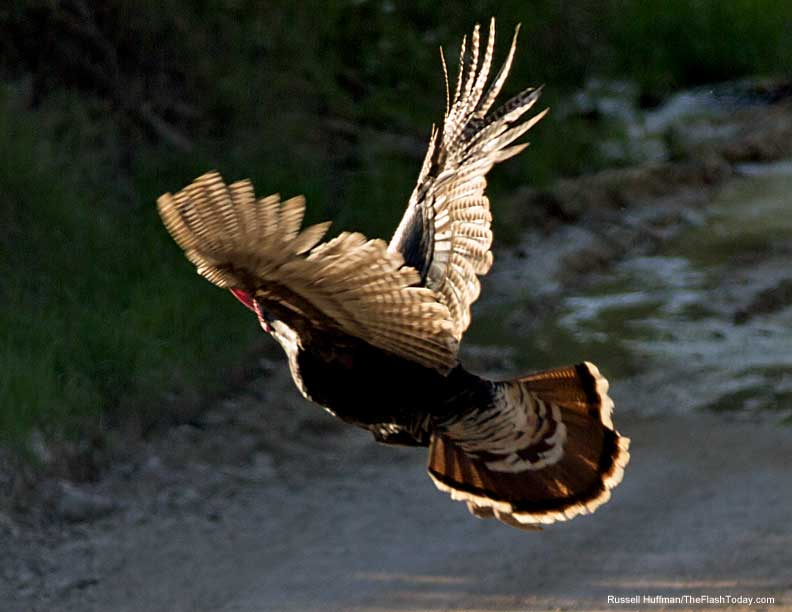 Yes turkeys can fly.