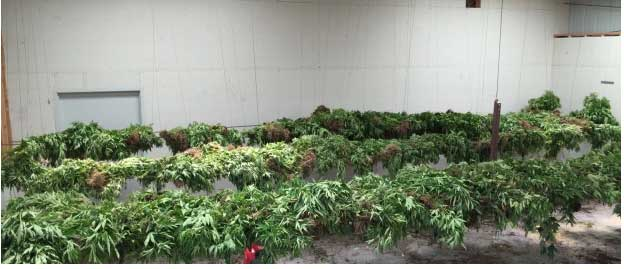 It takes a long time to inventory a marijuana seizure this one came out to an approximate 5,852 plants.