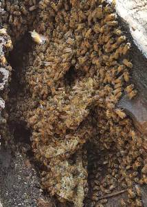 Honeybees swarm over their honeycomb prior to smoke being applied to calm them down.