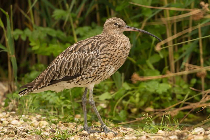 state-of-nature-curlew