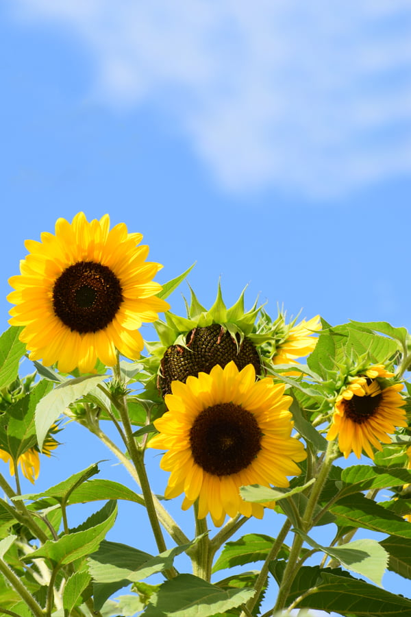Earth Day Sunflower