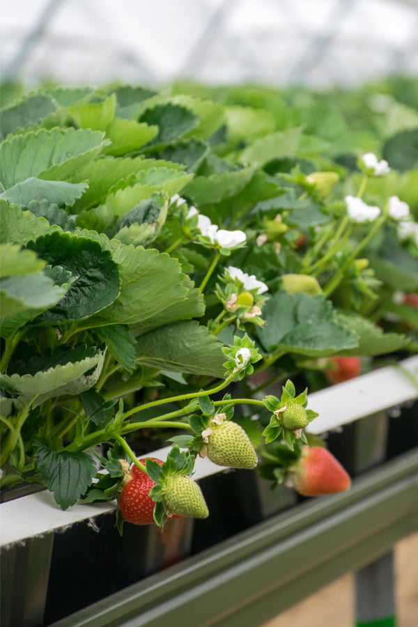 English Strawberries Hugh Lowe Farm