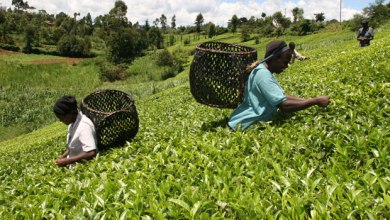 Photo of Senate Committees Recommend Annulment of Tea Regulations of 2020