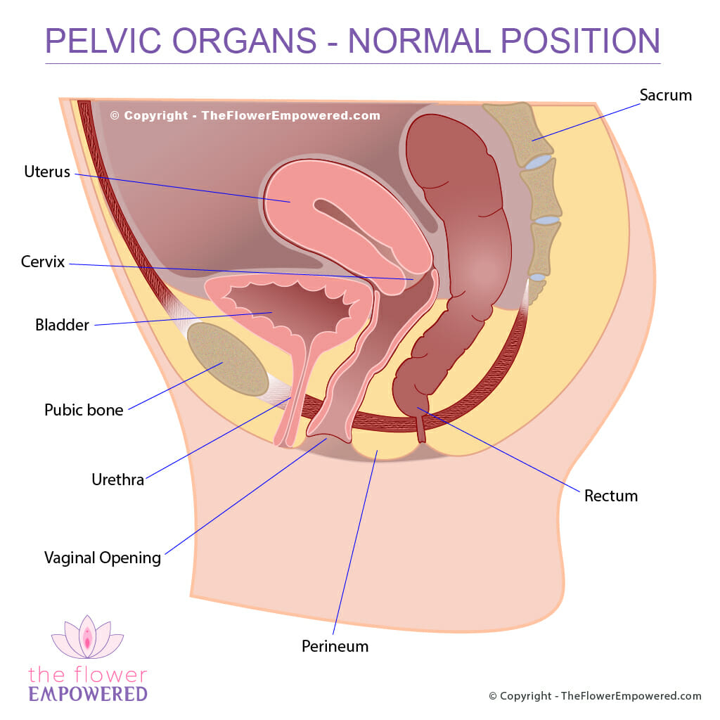 hight resolution of pelvic organ prolapse normal placement of organs