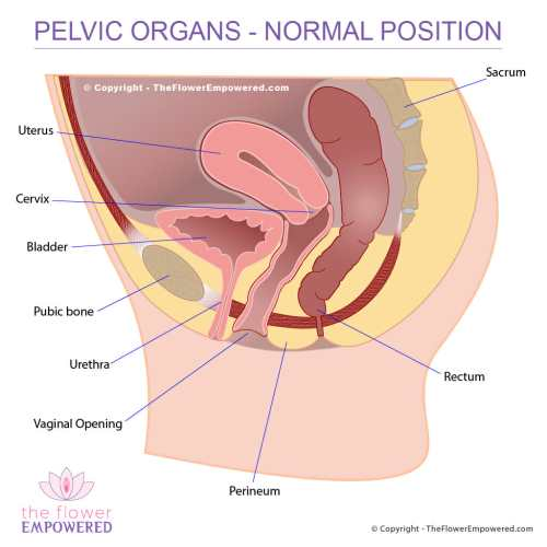 small resolution of pelvic organ prolapse normal placement of organs