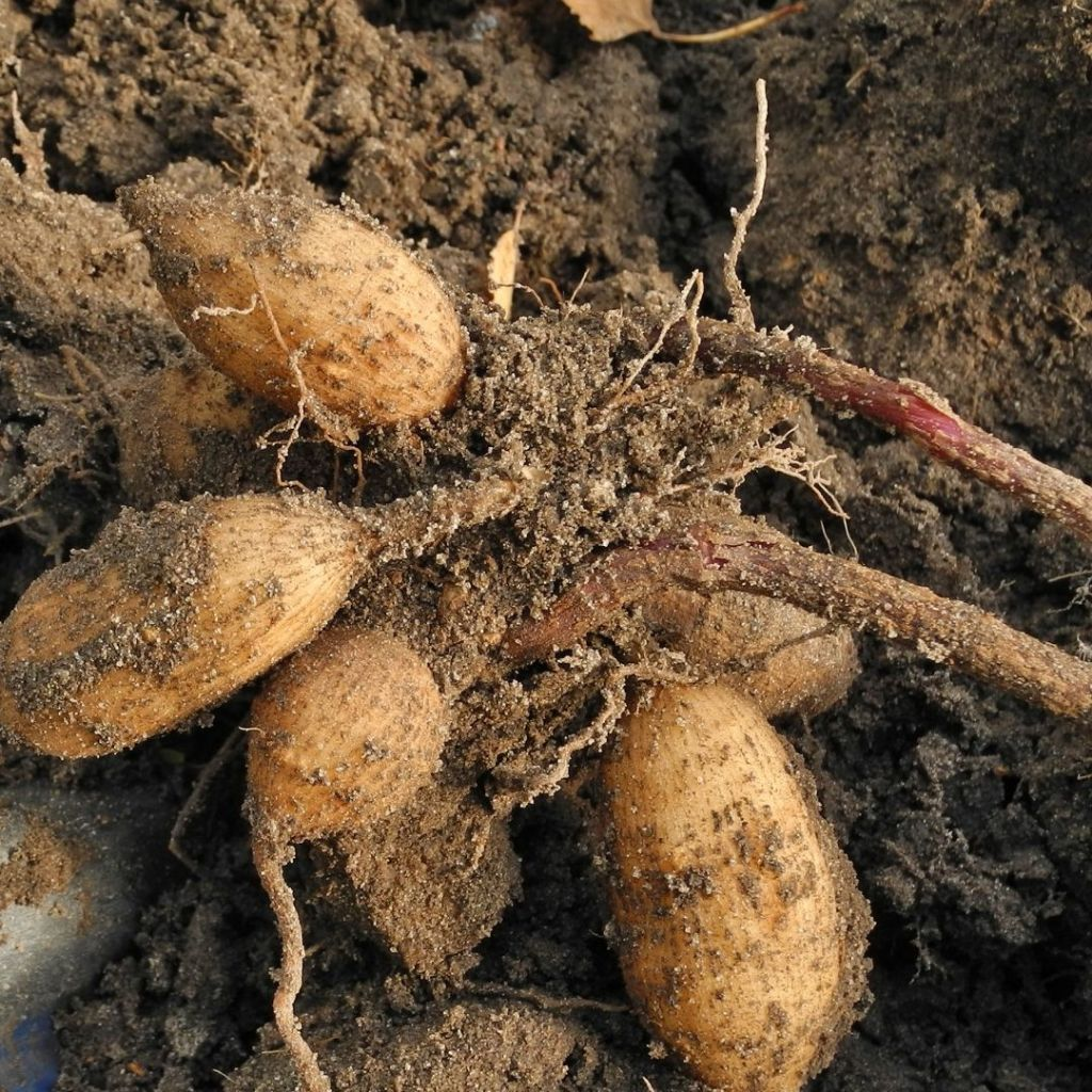 clump of dahlia tubers