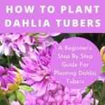 How To Plant Dahlia Tubers