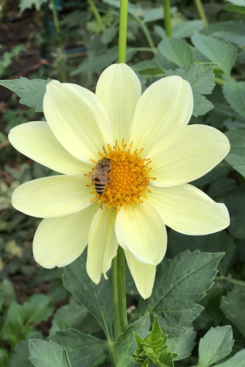 Dahlia flower being pollinated by bee.