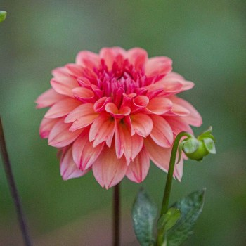 Ice Tea | Formal Decorative Dahlia