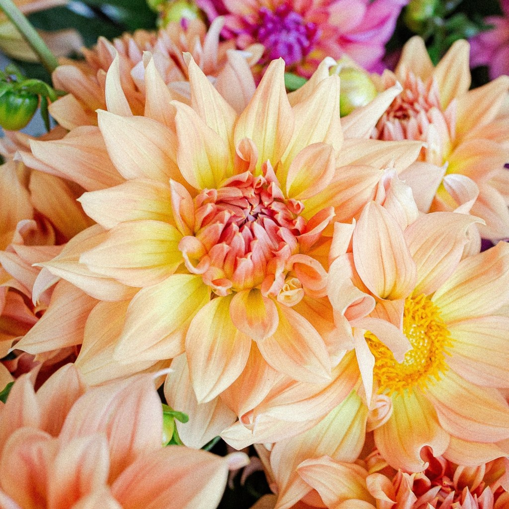 Honeymoon Dahlia | Informal Decorative Dahlia