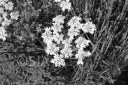 Black and white cow parsley