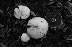 autumn-mushrooms-black-and-white
