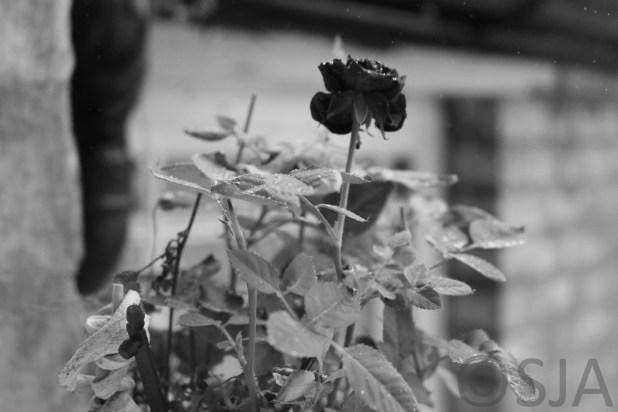 rose-raindrops-black-and-white