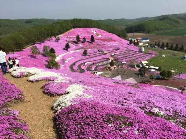 Shibazakura in Hokkaido Japan