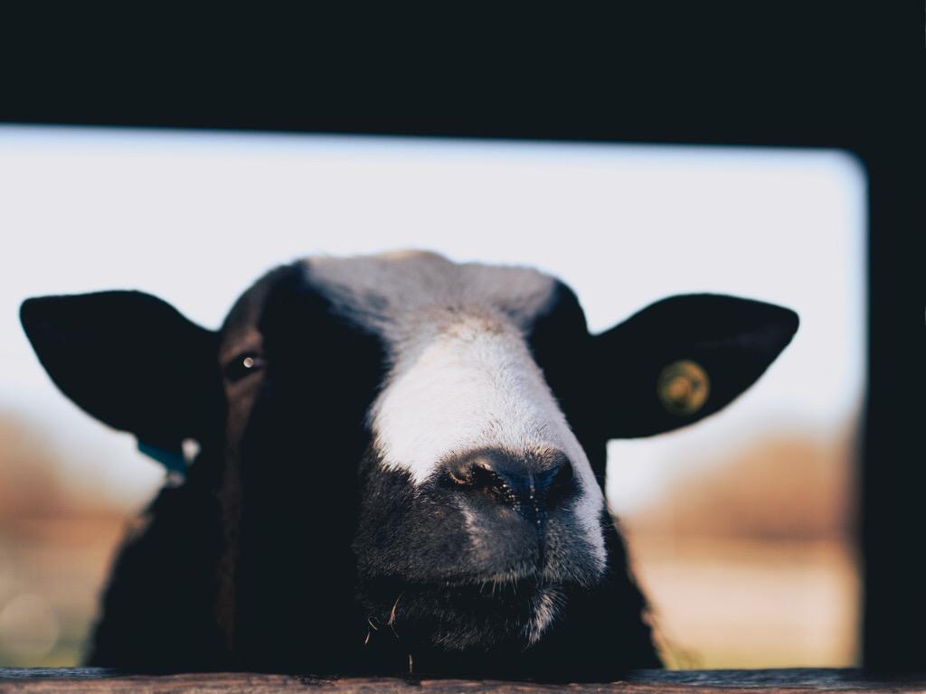 Barleyland farm goat
