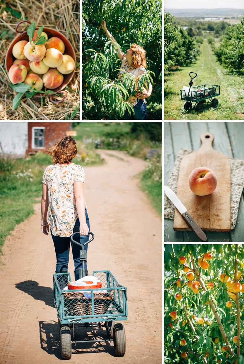 Peach Orchard 4