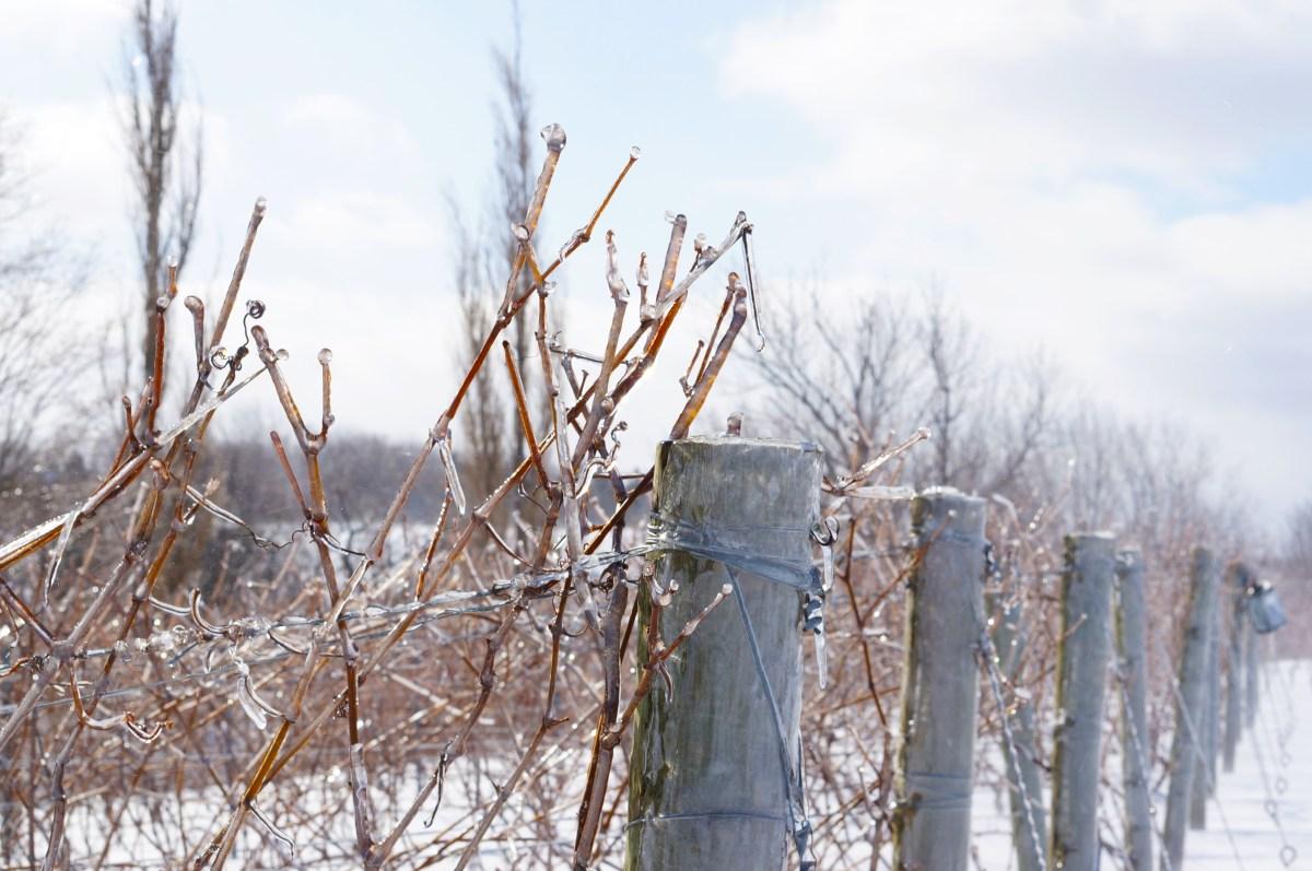 field5.icewine