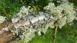 ramalina lichen on branch