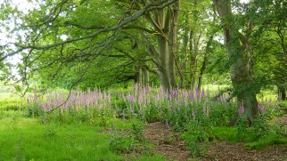 it's been a very good year for foxgloves