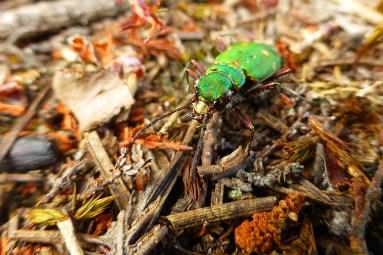 green_tiger_beetle