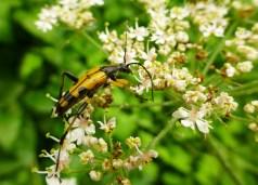 longhorn_beetle