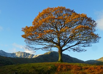 langdale_valley_oak
