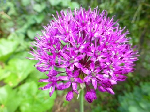 allium_flower