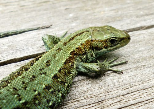 lizard_head2