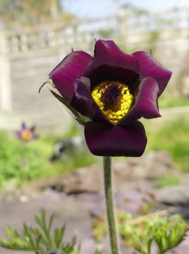 pasque_flower