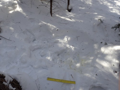 Moose bed in snow