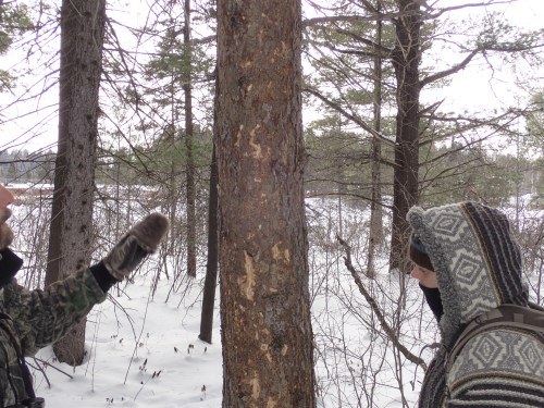 Black-backed Woodpecker sign, bark sloughing