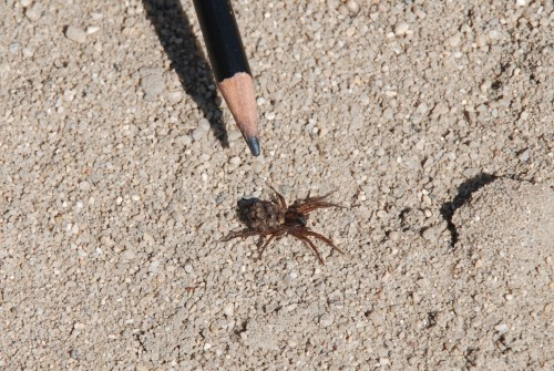 Wolf spider with young on it back