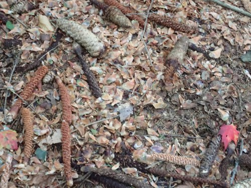 many ages of Red Squirrel eaten pine cones